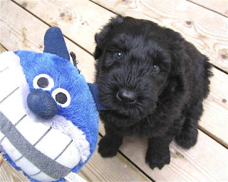 Black Russian Terrier Puppy Picture