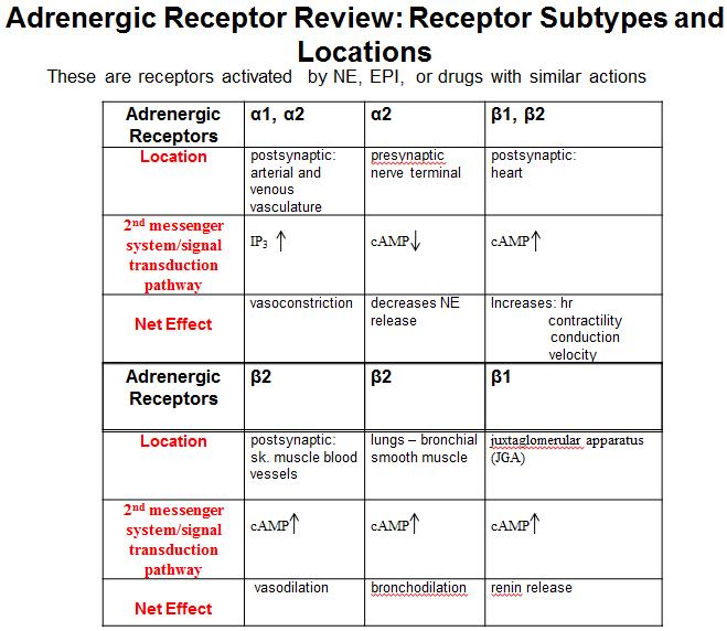 exam 1 study sheet - adrenergics - iusmpharm, Skeleton
