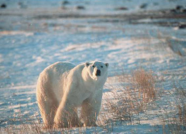 Most Polar Bears Gone By 2050, Studies Say.  (Link)