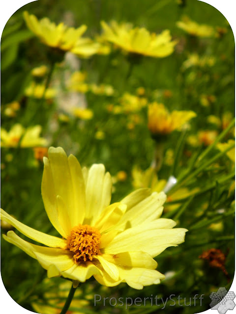 Coreopsis (Creme Brulee) - Little Yellow Flowers