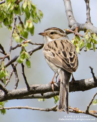 Clay-coloured Sparrow. Photo © Shelley Banks, all rights reserved.