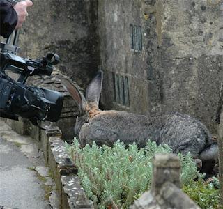 darius pemegang rekor kelinci terbesar di dunia