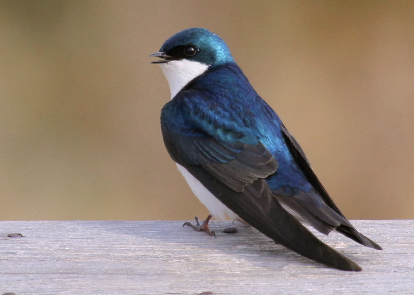 Tree Swallow Facts 91
