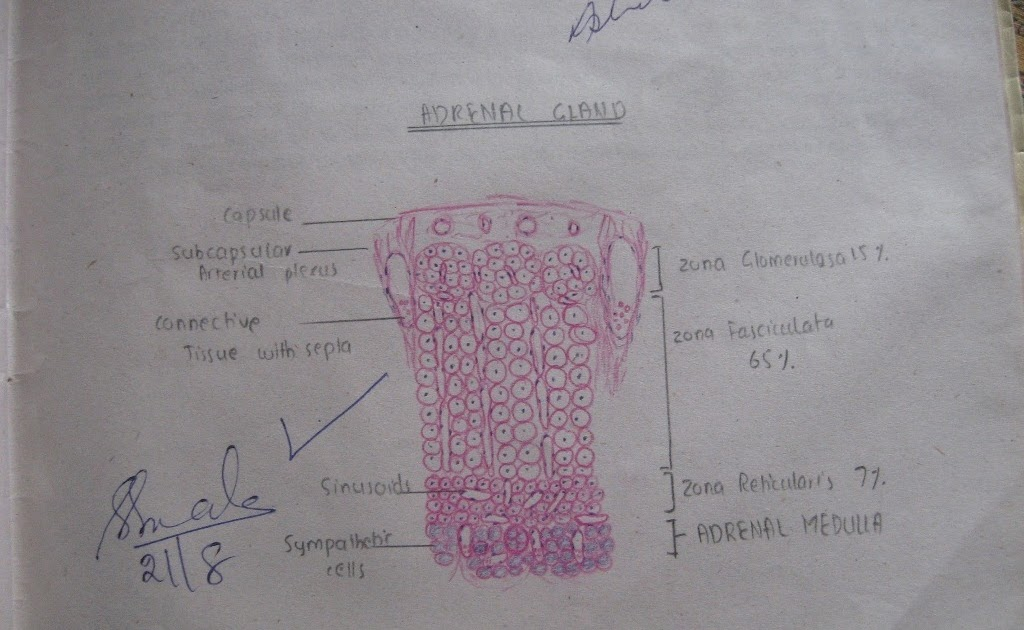 Medical    Education for Students  Histology    Diagrams    for MB