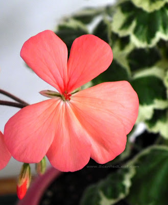 Pelargonium Frank Headley flower (with variegated sepals)