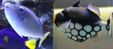 Reef Safe Sargassum and Clown triggerfish