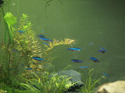 Zwinnik Costello - ryby akwariowe - zdjęcia 3