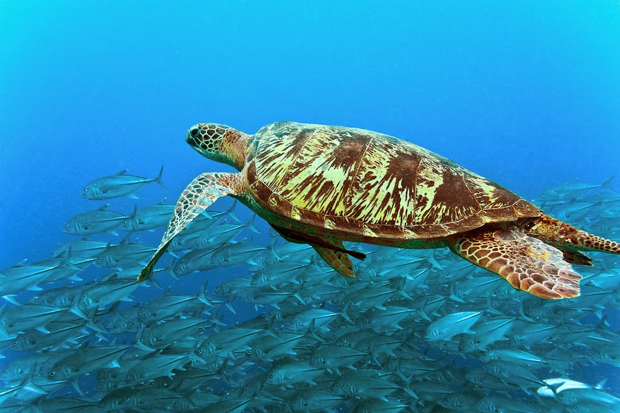 Sea Turtle Swimming With a School of Fish