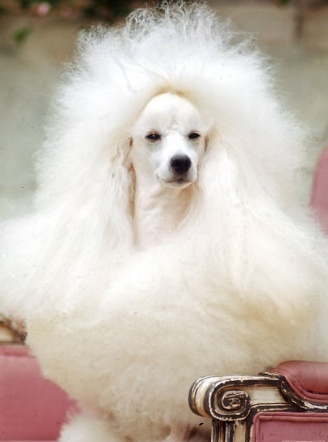 How to groom a Poodle dog?