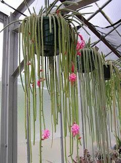 Jardineria, Catalogo de Plantas: Aporocactus flagelliformis
