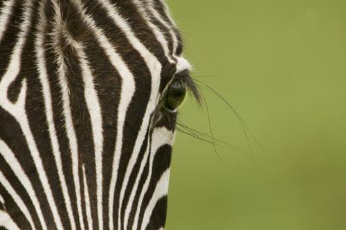 le filtre Zebra de Google