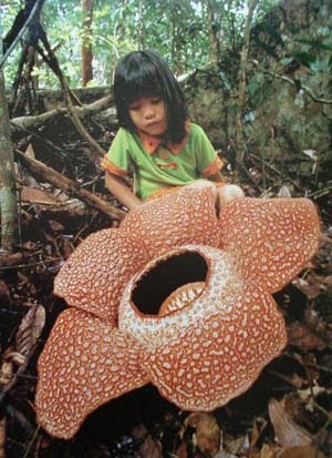 FACT: Rafflesia arnoldii is the largest flower on the Earth