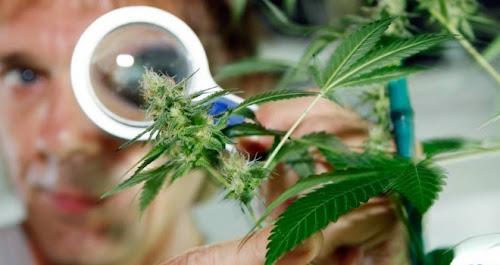 Estudo mostra que a cannabis não deixa você idiota