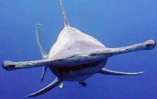 Pez Martillo o Tiburón Martillo de frente