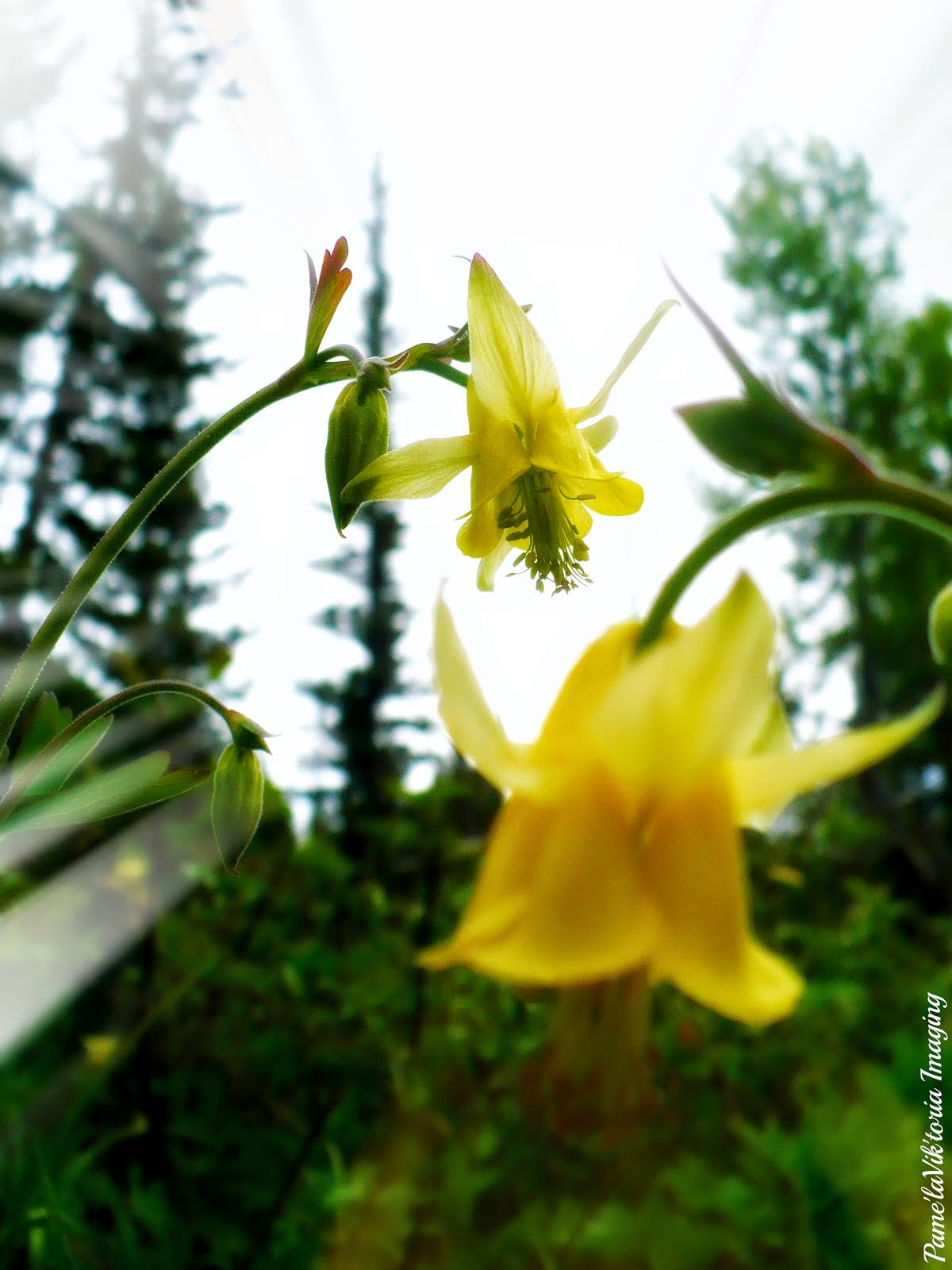 Yellow Bells in the Forest