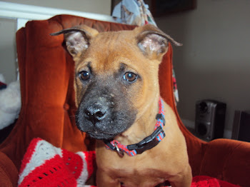 Thai Ridgeback Male pup
