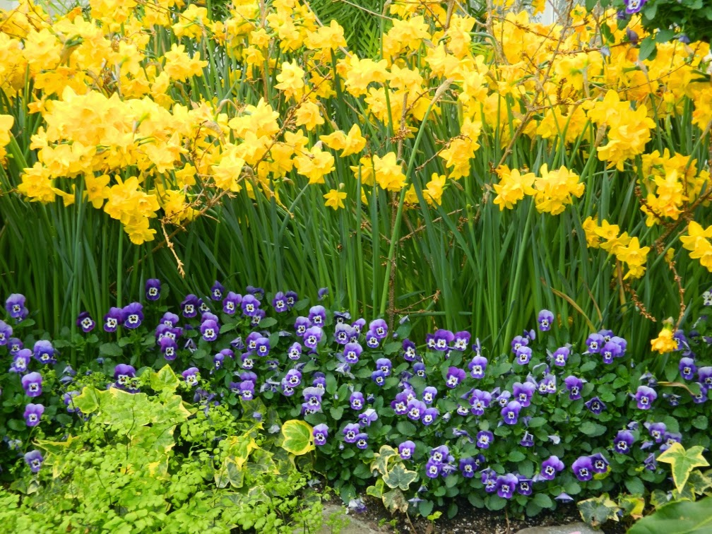 Allan Gardens Conservatory Spring Flower Show 2014 yellow daffodils purple pansies