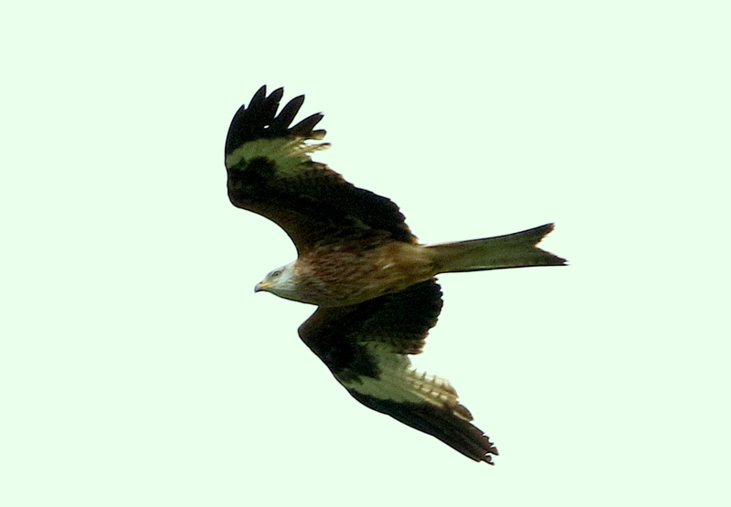 Fly Flatts Red Kite