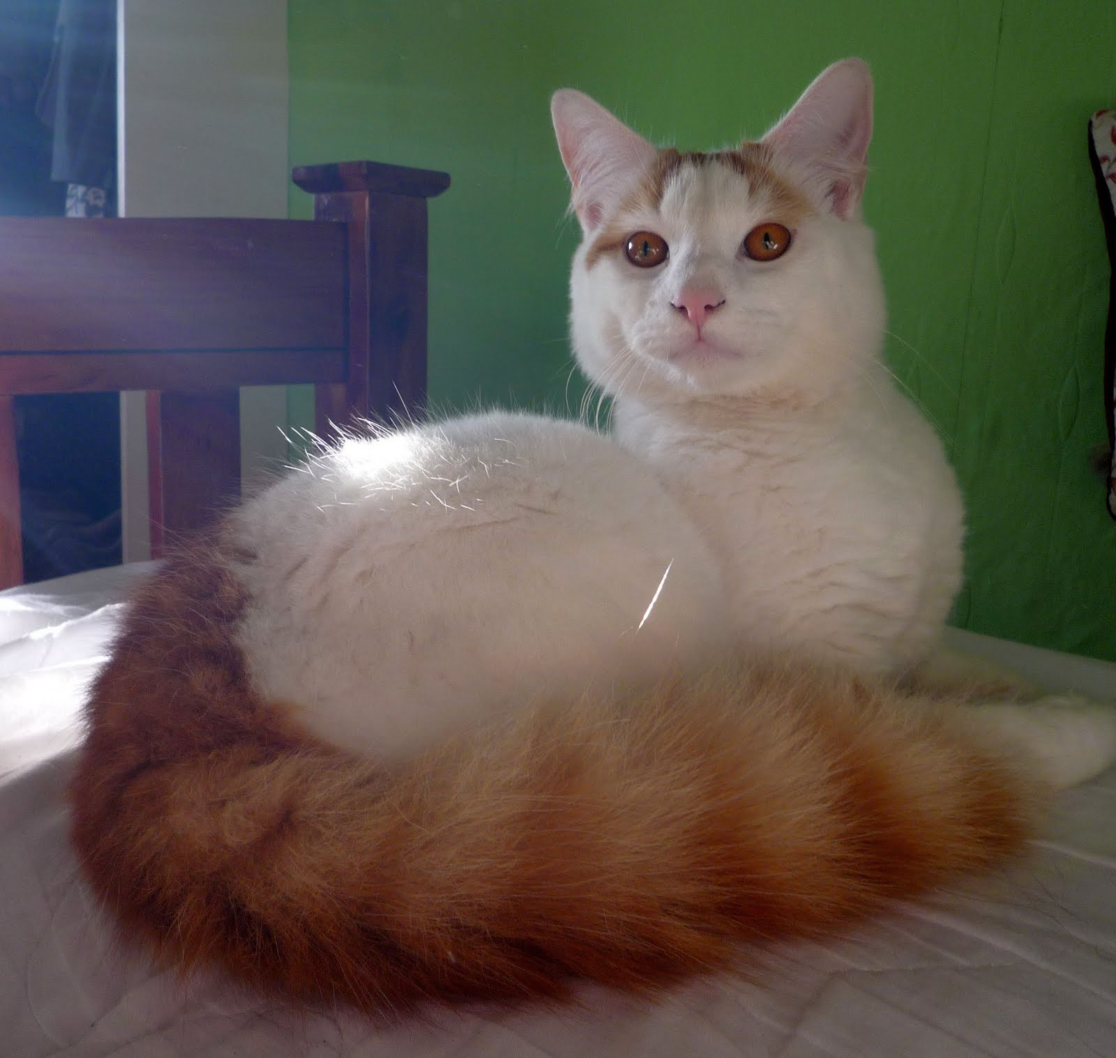 Van Turkey  city photos gallery : Turkish Van Cat Photos