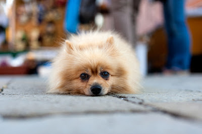 A lonely pomeranian lies down on the street