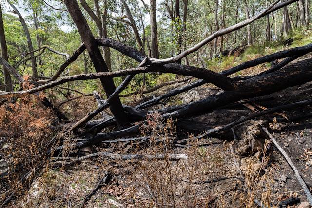 burnt fallen trees