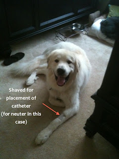 Colorado great pyrenees rescue community why is my dog s leg shaved
