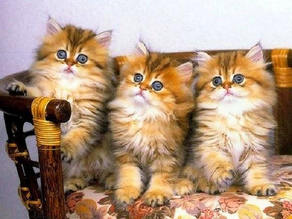 Photos de Chats avec yeux bleus
