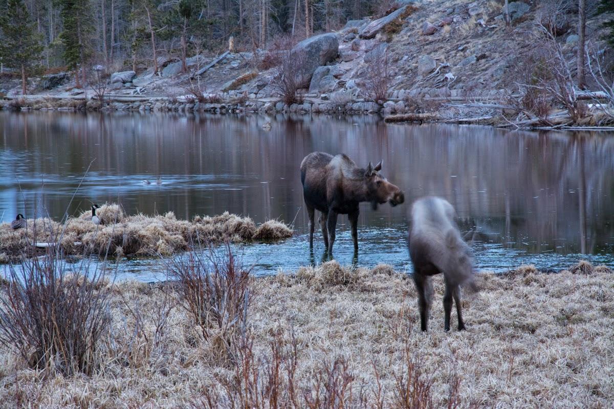 Moose at Sprague Lake, Rocky Mountain National Park