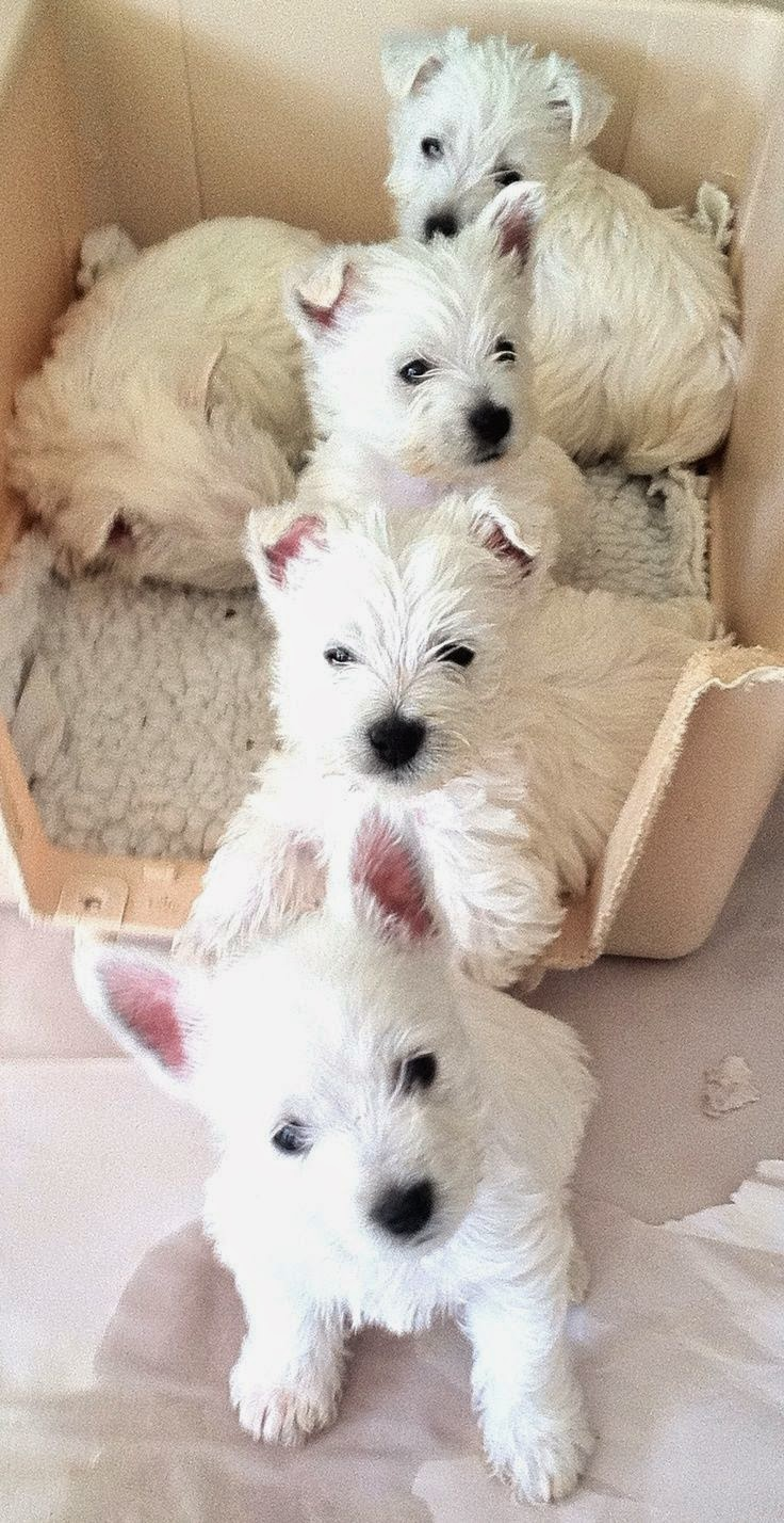 3 Top Westie puppies