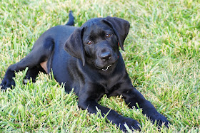 Puppy #2: Jet, KSDS Puppy in Training