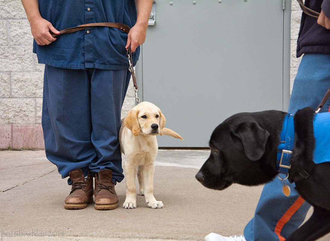 A man dressed in the blue prison uniform is standing on the left, but he is only visible from the waist down. He holding a leash to a small yellow lab/golden retriever mix puppy that is standing on his left side. Both are facing the camera, but the puppy is looking at an older black lab that is being walked by from the right.