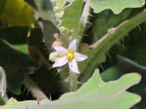 Philadelphia Flower Show 2015- Solanum Quitonese