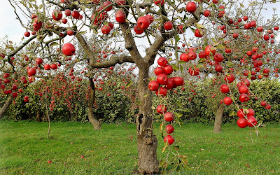Manzanas rojas en otoo - Autumn red apples