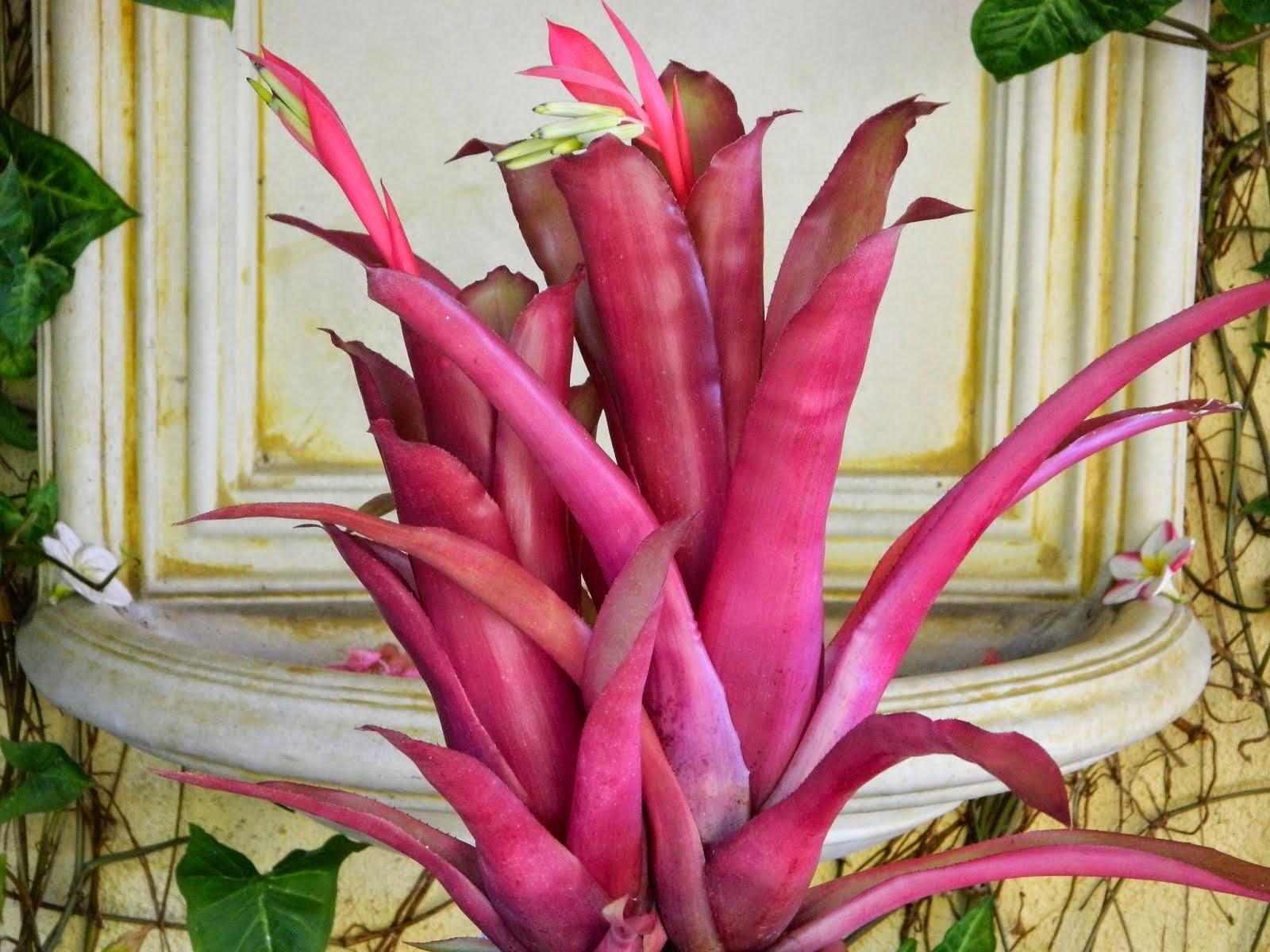 Billbergia Pink Amore