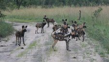 NEW PACK OF PAINTED DOGS IN KASUNGU NATIONAL PARK