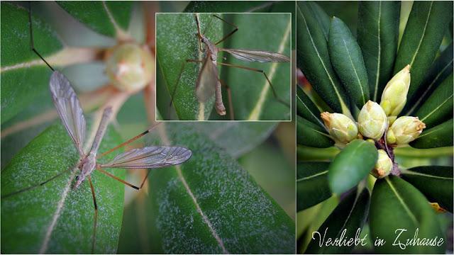 Makrofoto Insekt auf Rhododendron