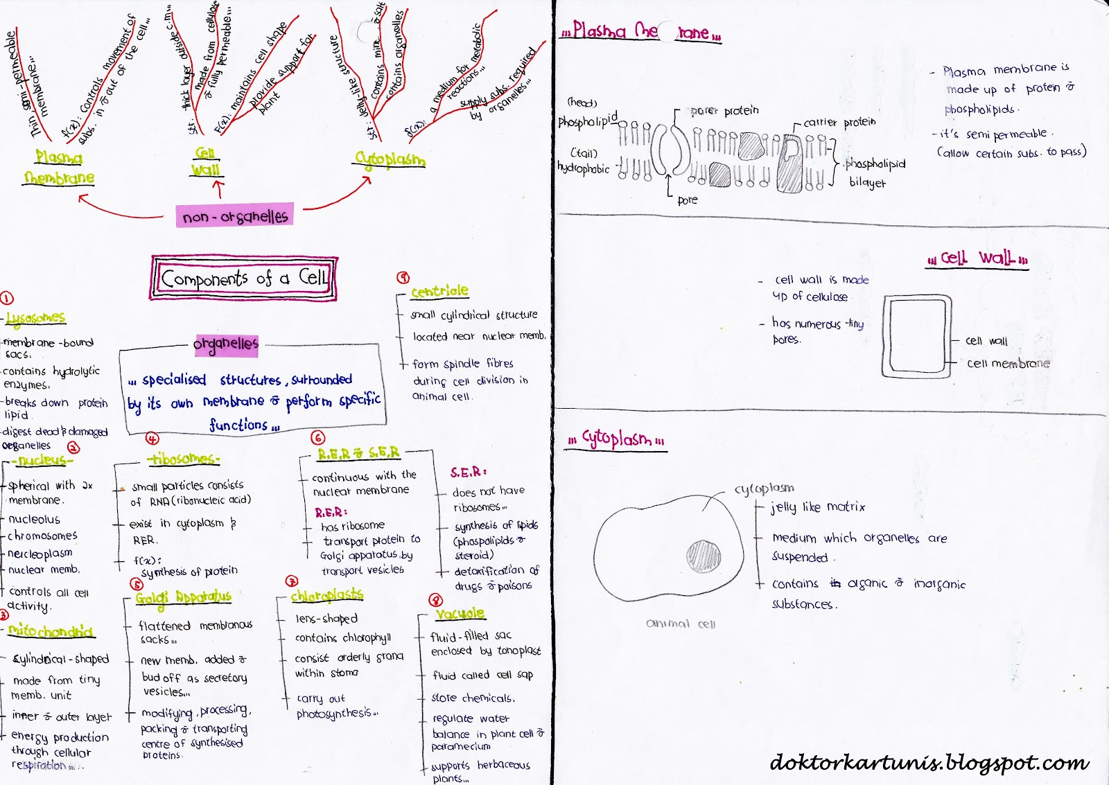 spm biology Yvonne choo shuen lann november 28, 2009 photosynthesis light reaction  during the light reaction, chlorophyll captures light energy which excites the.
