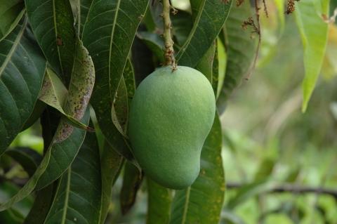 green mango rice madame scientist s not raw mango rice green mango ...