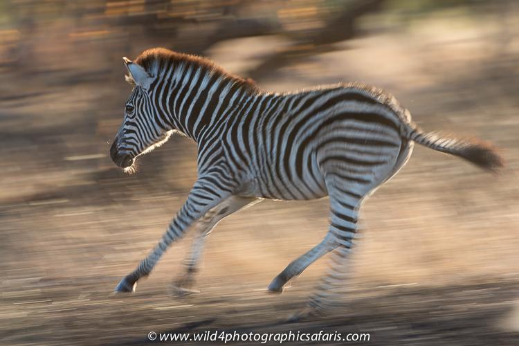 The Zebra Mastermind  The Lion Guard Wiki  FANDOM