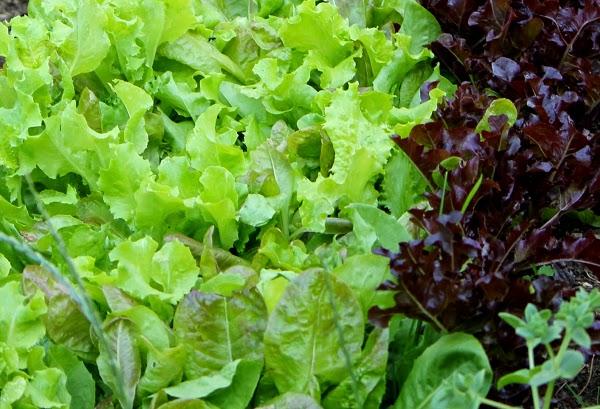 Universal mood foto lattuga fresca estiva e insalate for Insalata da taglio