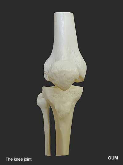 the skeletal system, Skeleton