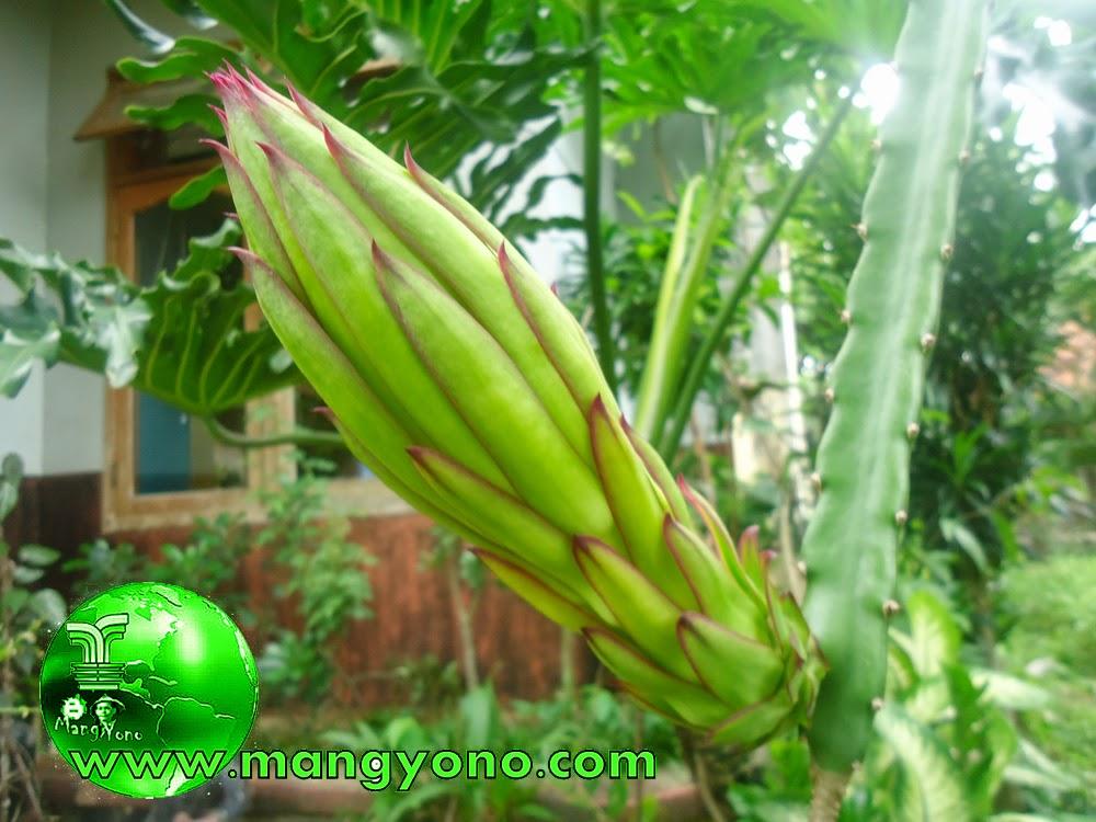 Foto 1. Bunga buah Naga masih kuncup, tetapi bentuknya sudah besar