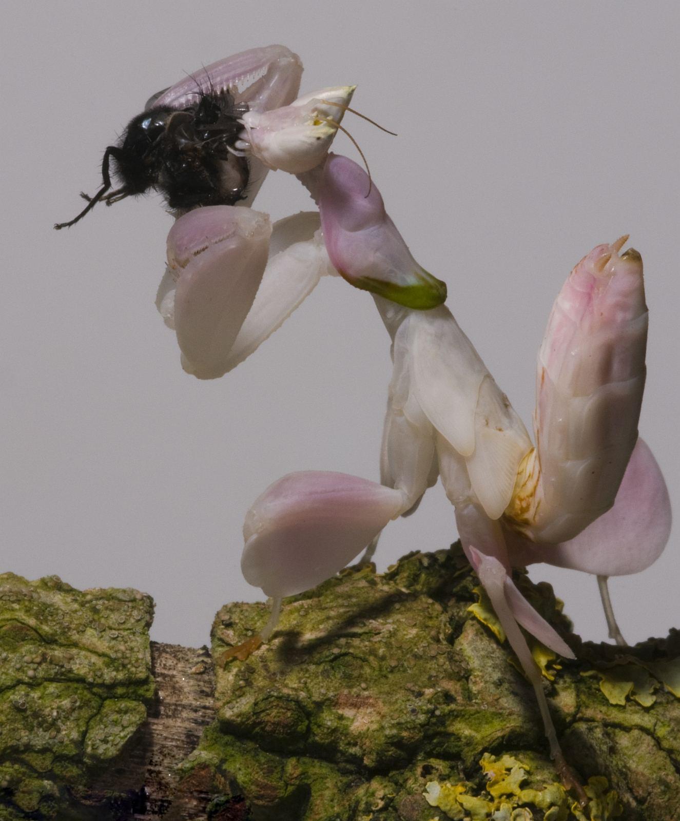 orquidea rosada