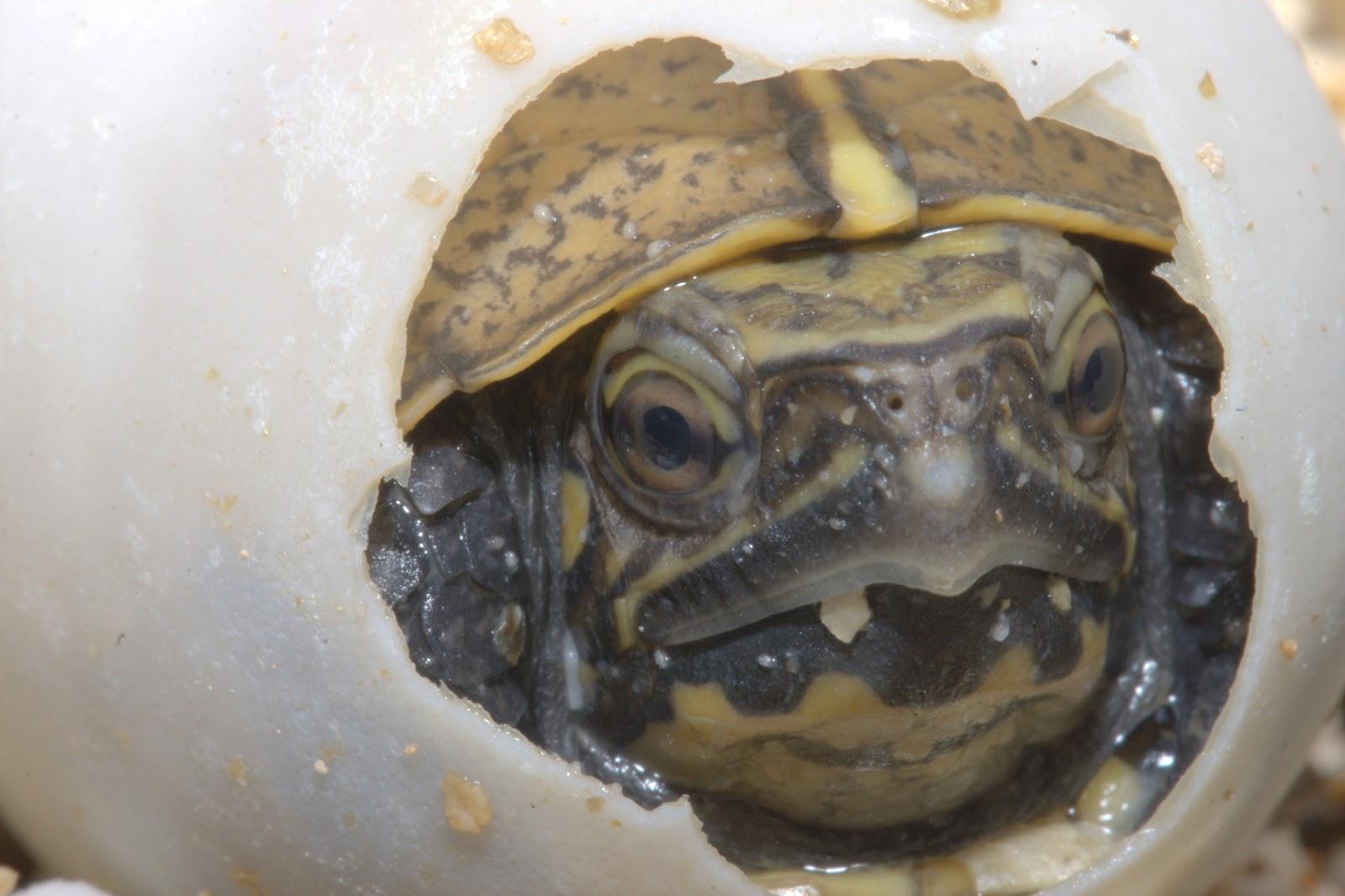 ... Aquarium Blog: Keeled box turtle hatches at the Tennessee Aquarium