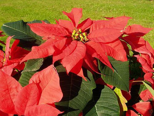 Plantas ornamentales estrella federal jardin de casa for Plantas ornamentales y sus cuidados