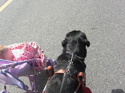 Picture of Al in harness walking beside the baby stroller (I'm walking him - my sister is pushing the stroller)