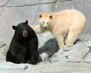 Oso negro y oso blanco