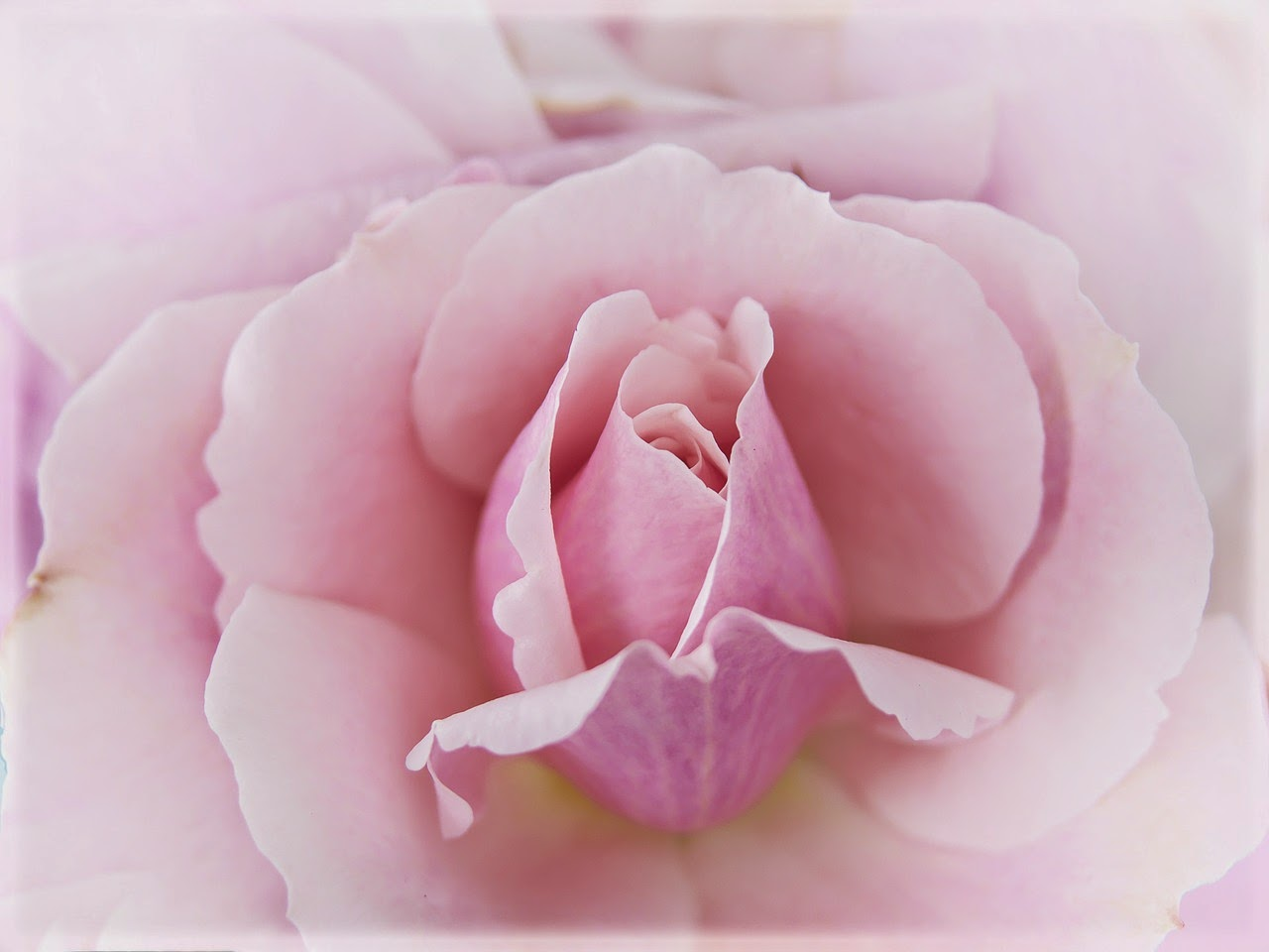 best pink rose for valentine day 2015