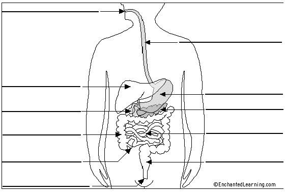 Sistema digestivo con nombres para colorear - Imagui