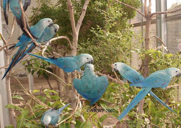 Let S Draw Endangered Species Spix S Macaw
